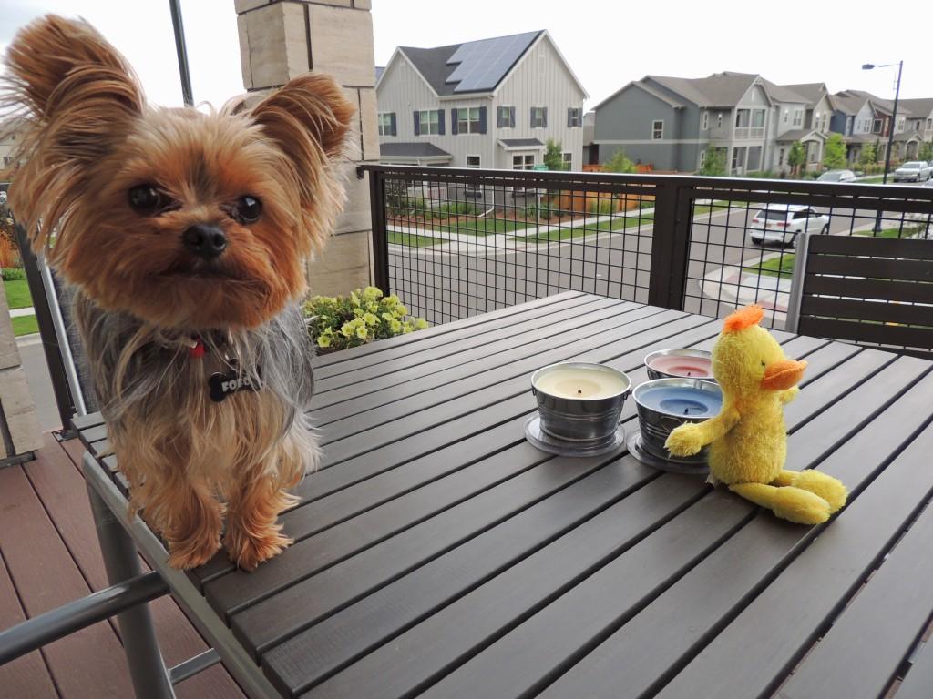 Fofo on balcony, dogs of Stapleton Calendar Winner